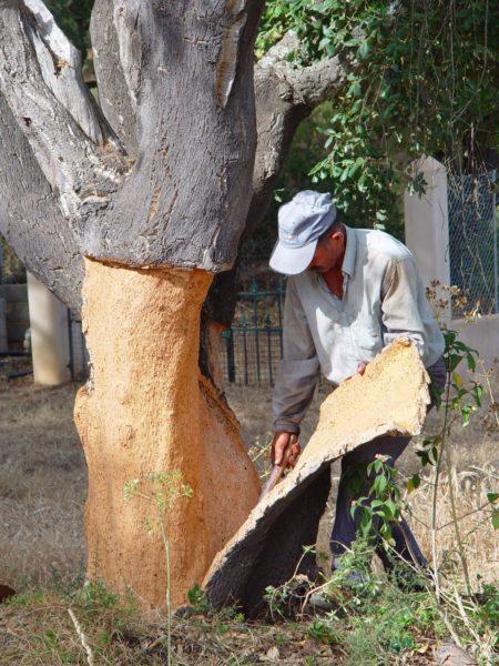 Снятие коры с пробкового дерева не наносит ему никакого вреда