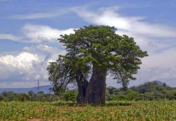 Абаш произрастает в тропической зоне