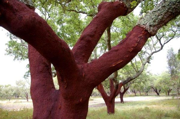 На фото пробковые деревья, которые нормально живут и развиваются без коры