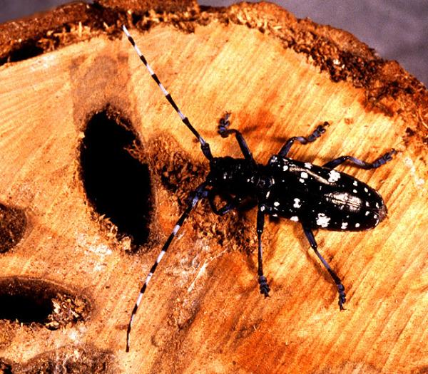 Насекомые-вредители способны испортить древесину в короткий срок.