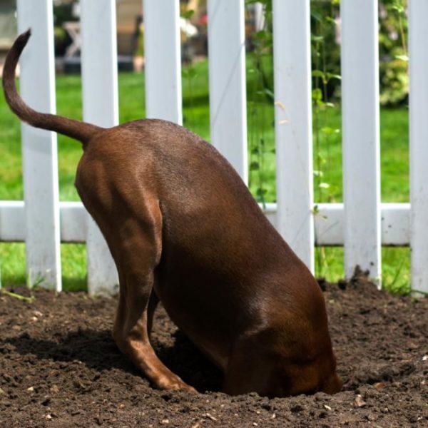 Склонность к рытью ям может помочь совершить псу побег из вольера